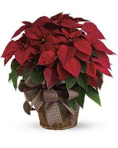 Poinsettia for Christmas