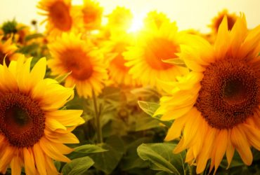Sunflowers as gift
